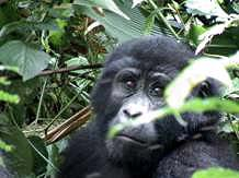 Mountain Gorilla Safari in Uganda